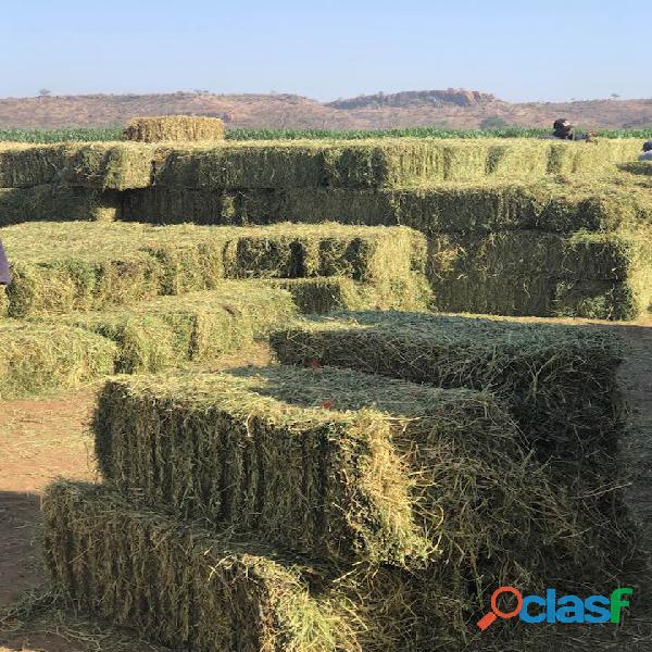 Lucerne / Alfalfa and Teff Hay bales   Whatsapp +27655406895 2