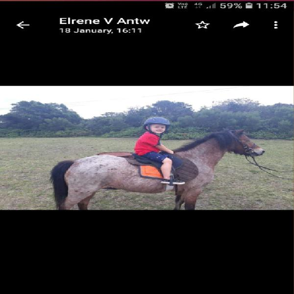 Awesome little pony for sale 0