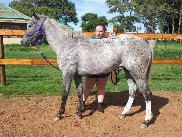 Registered Appaloosa for sale 0