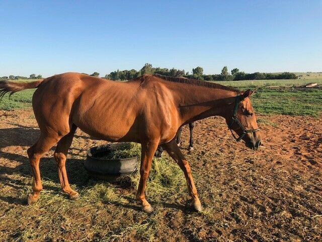 Thoroughbred Mare For Sale 0