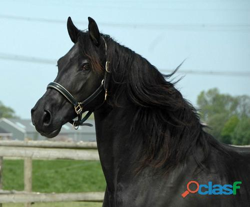 Friesian mare for relocation