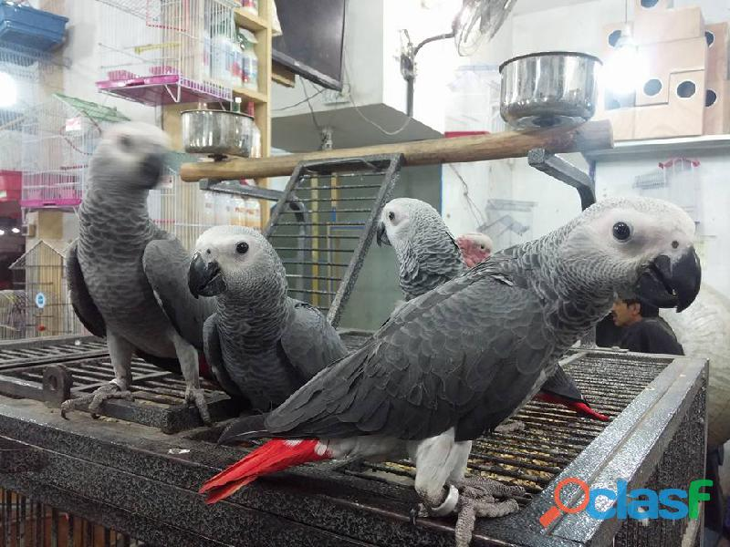 African greys available for delivery