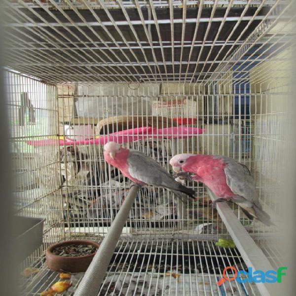 Parrots 【 ADS August 】   Clasf