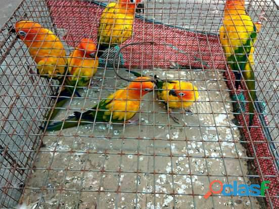 exotic scarlet macaws babies and adults 4
