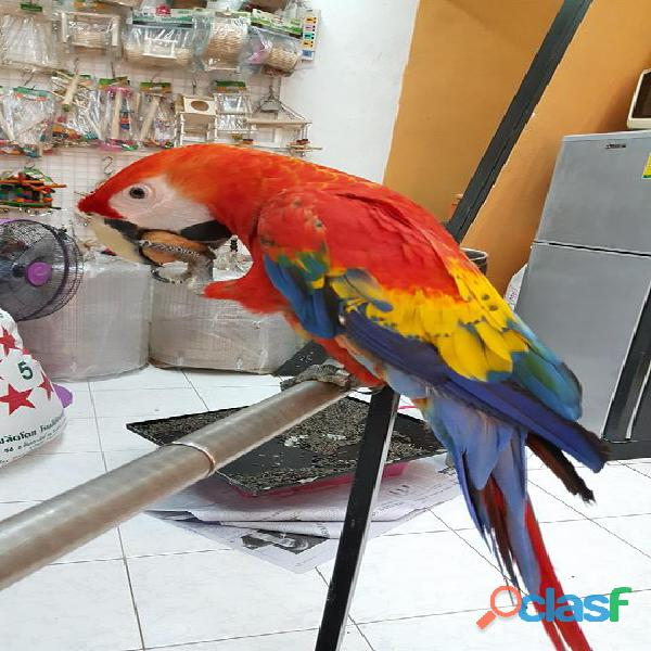 exotic scarlet macaws babies and adults 3