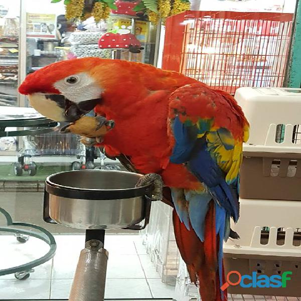 exotic scarlet macaws babies and adults 2