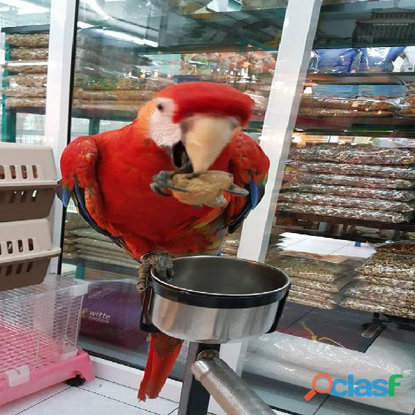 exotic scarlet macaws babies and adults 1