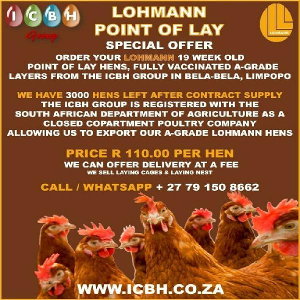 Lohmann point of lay hens
