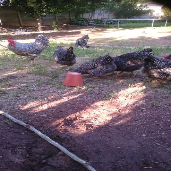 Potchefstroom koekoek chickens for sale. hens plus rooster,