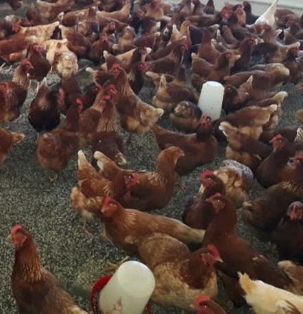 Lohmann brown point of lay hens