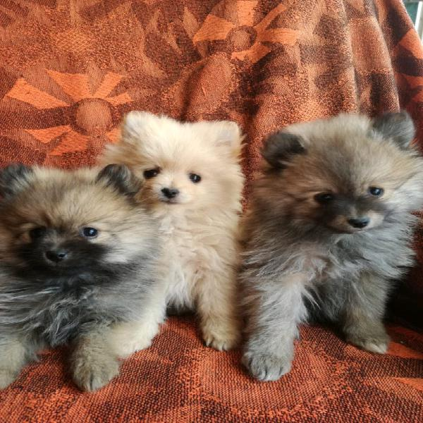 Toy pomeranian puppies for sale