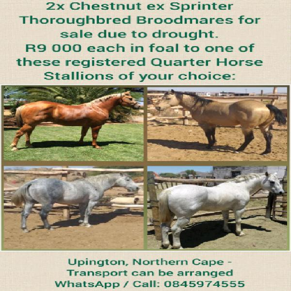 2x tb broodmares for sale in foal to one of these registered