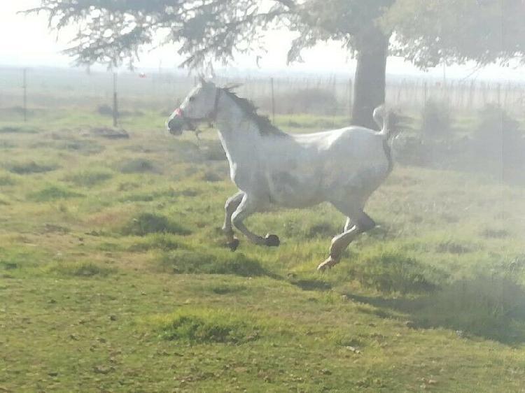 Arabian horse mare