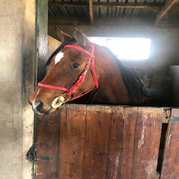 Beautiful registered arab mare