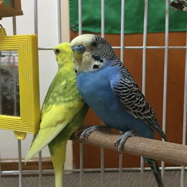 Budgie breeding pair