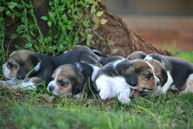 Kusa registered beagle puppies from lanico kennels