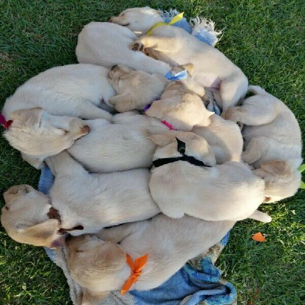 Pure bred golden labrador puppies for sale