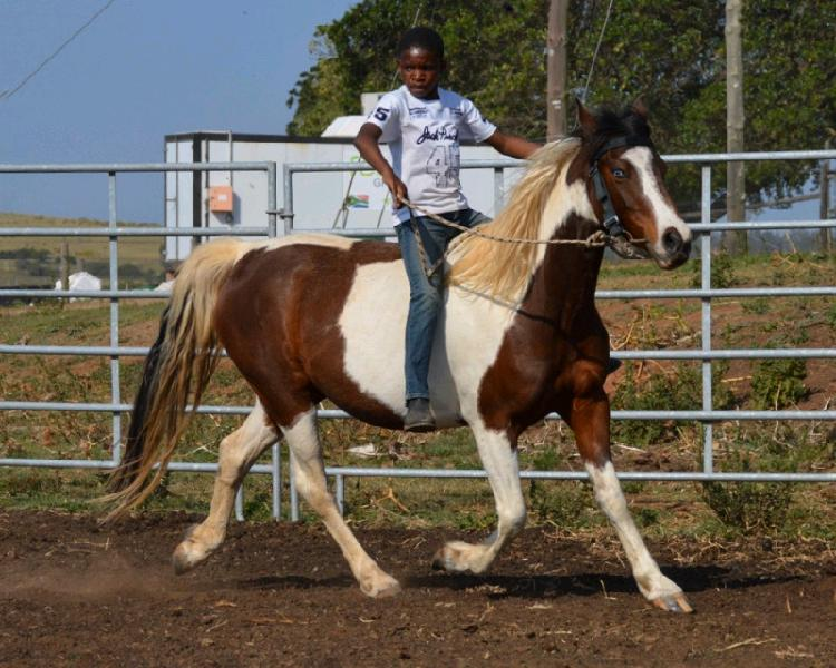 Super sweet, safe and tame pinto mare with one blue eye