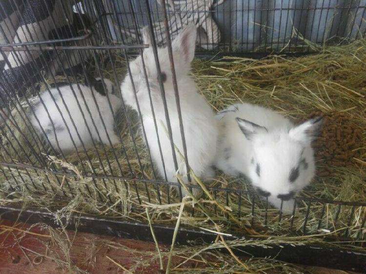 Baby dwarf rabbits for sale
