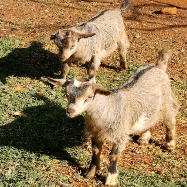 Femal dwarf goats