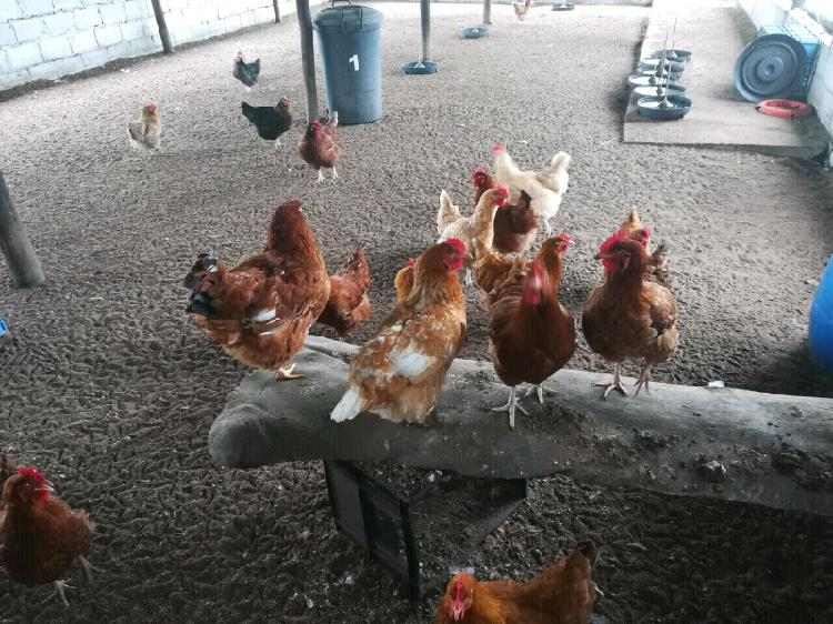 Selling my lay hens