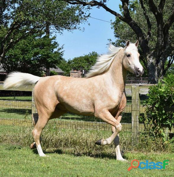 Palomino arab ccolt for sale