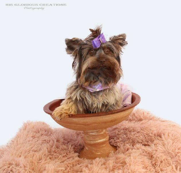 Adult yorkies for breeding available