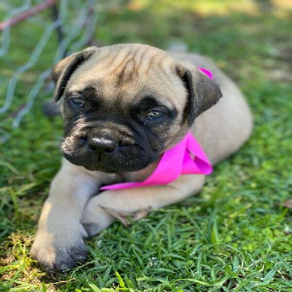 Bullmastiff puppies - western cape