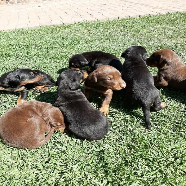 Doberman pincher large breed puppies