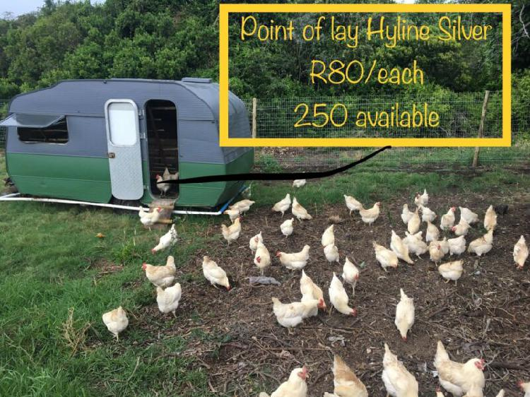 Laying hens Hyline Silver