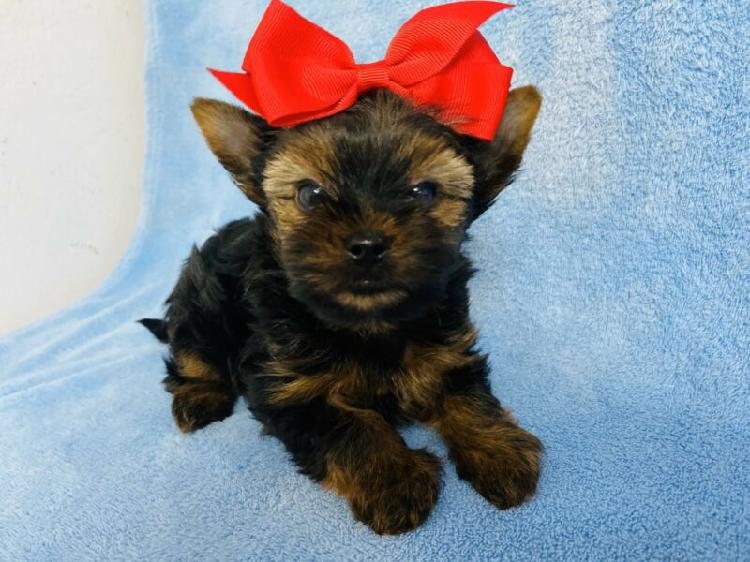 Yorkshire terrier - female & male