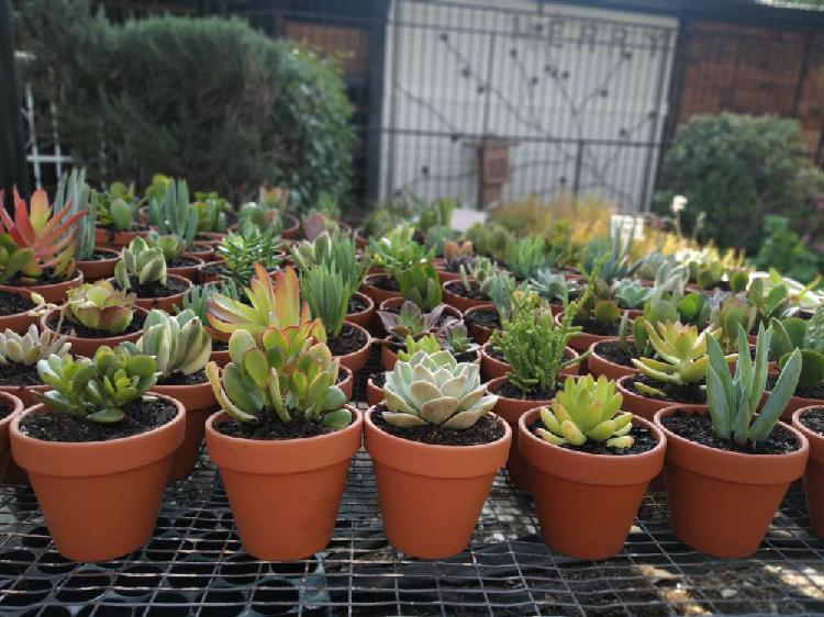 Succulents in 8cm terracotta pots