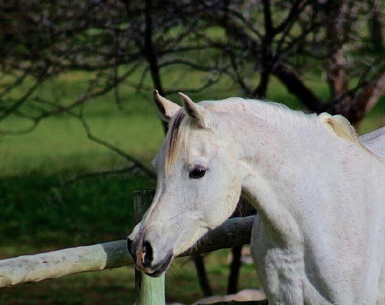 Arabian mares