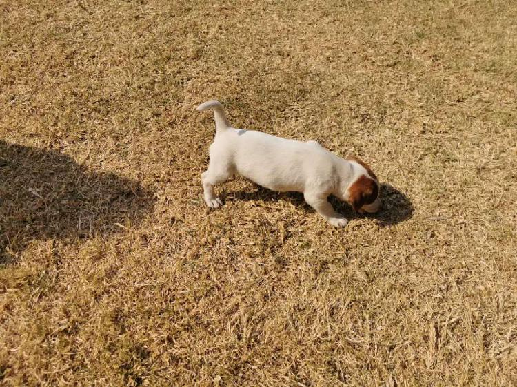 Jack russell puppies price negotiable