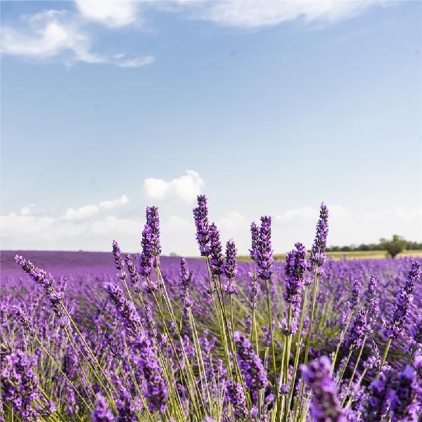100 pcs lavender flower seeds flower potted plant fast