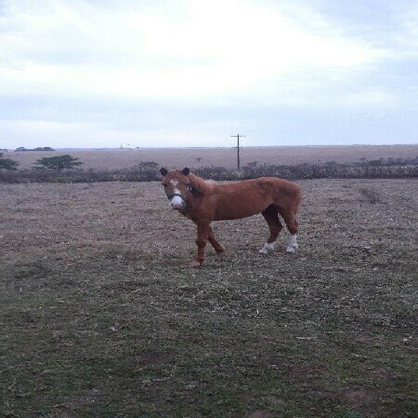 Boerperd mare for sale