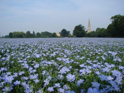 Linseed / flax - linseed linum - annual flower - 100 seeds