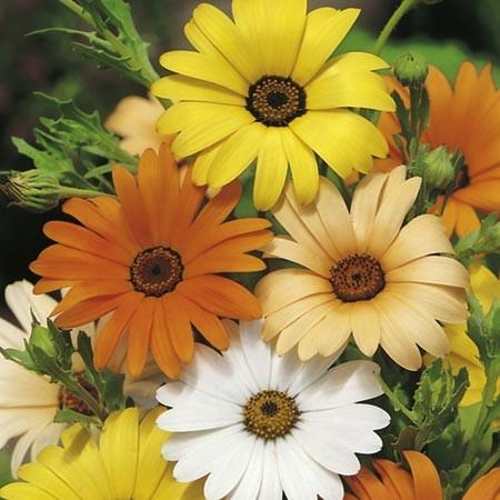 Wedding favour seeds - mixed african daisy - annual flower