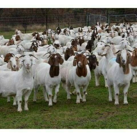 Livestock for sale in east london