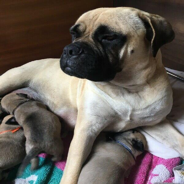 Bullmastiff puppies western cape