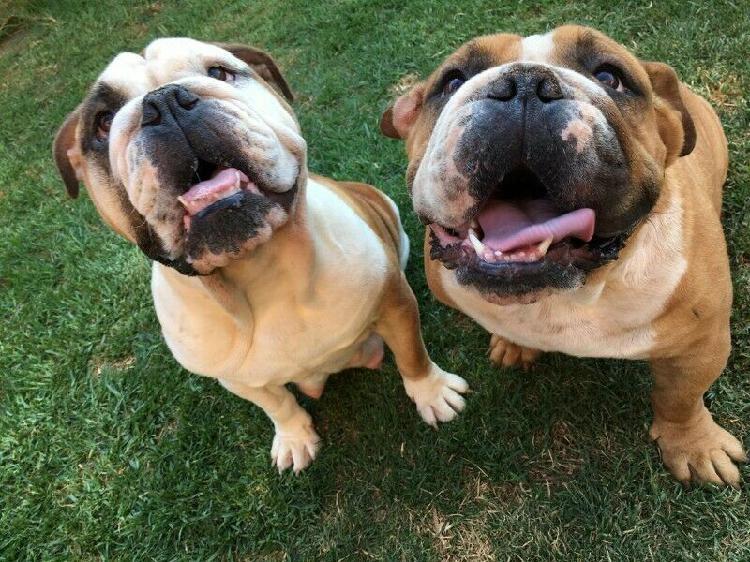English bulldog puppies r12 500.00