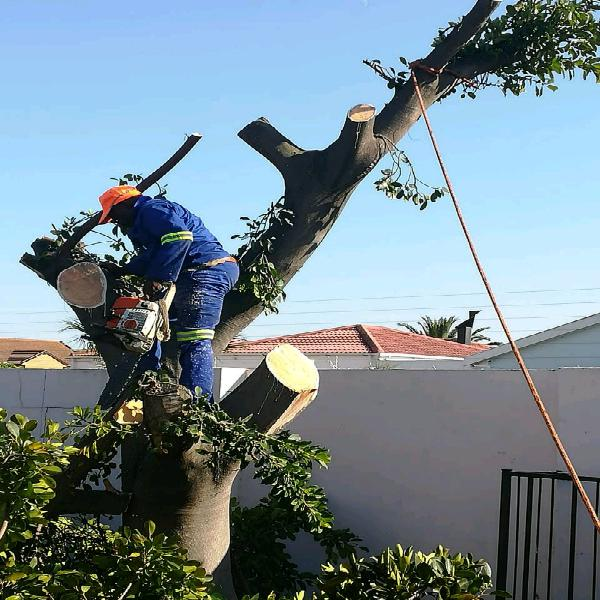 Tree felling services and stump removal