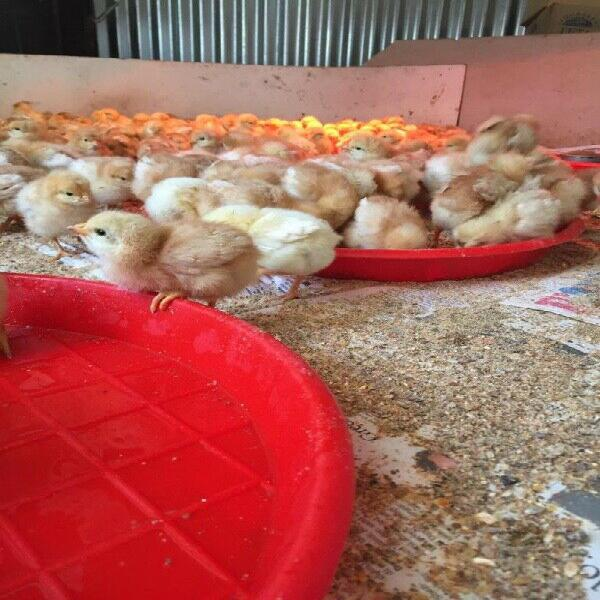 Lohmann brown day old laying hens