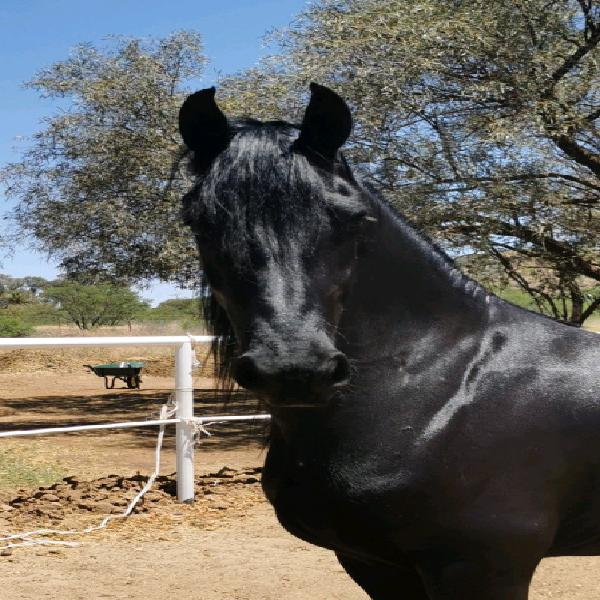 Friesian studbook mare for sale