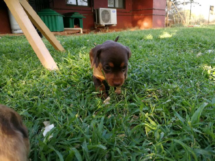 Male dachshund puppies