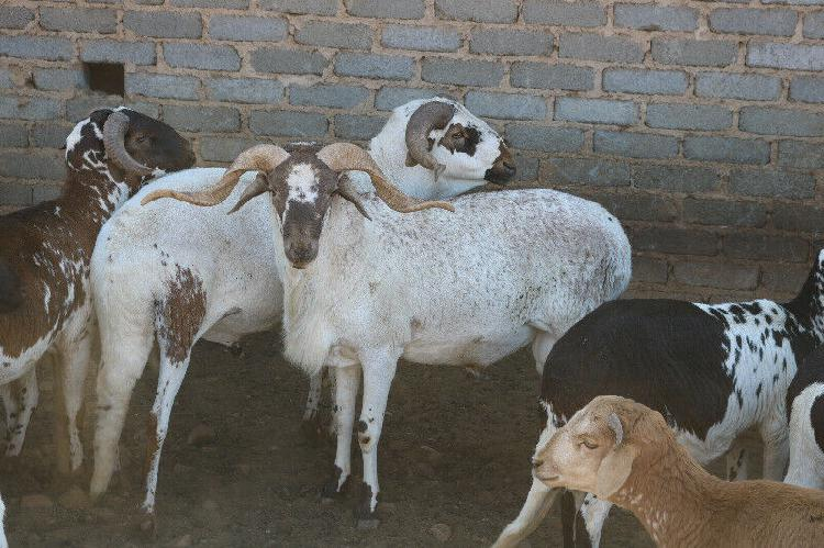 Damara Sheep