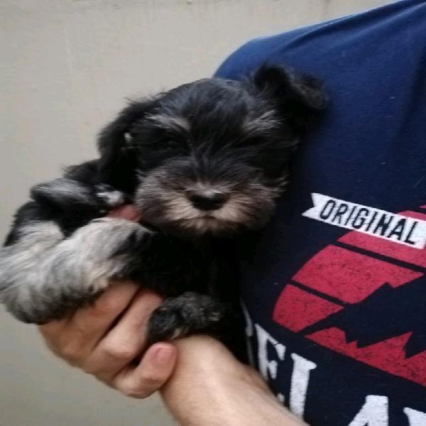 Miniature schnauzer female puppy