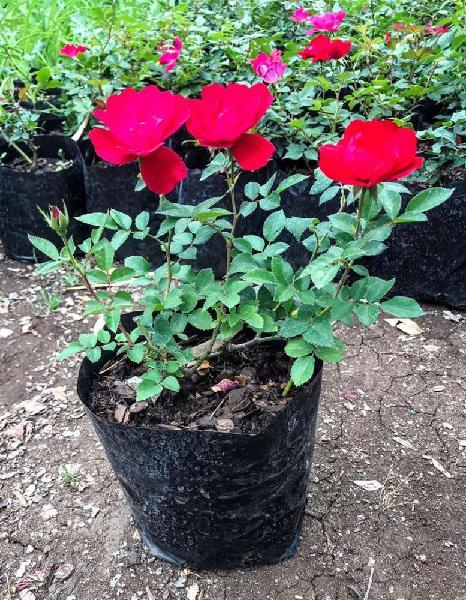 Red iceberg type rose