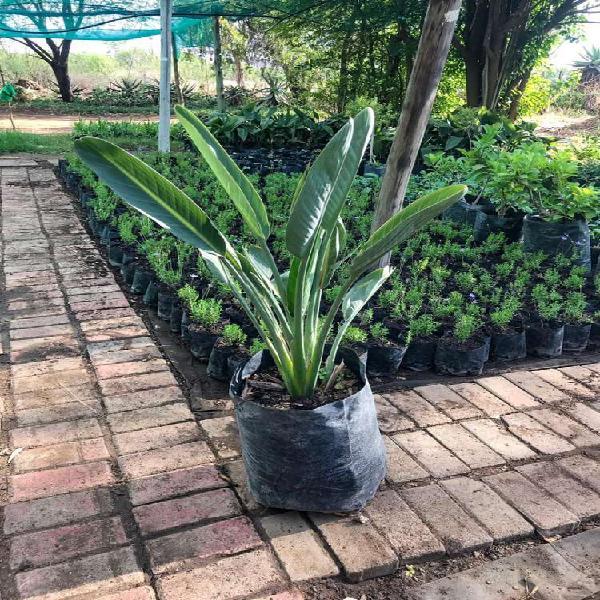 Strelitzia / bird of paradise plants