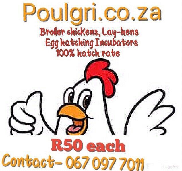 Chickens r50